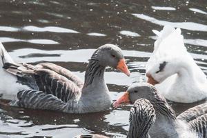 stormo di oche selvatiche che mangiano nel fiume foto