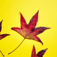 foglie di acero rosso su sfondo giallo nella stagione autunnale foto