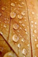 gocce sulla foglia marrone nei giorni di pioggia foto