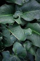 gocce sulle foglie della pianta verde nei giorni di pioggia foto