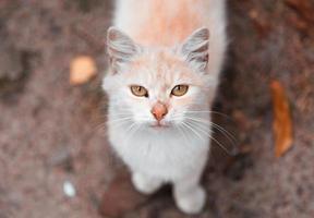 gatto bianco e arancione che guarda l'obbiettivo foto