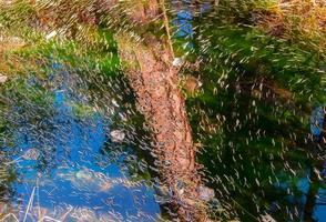 aghi di larice e riflessione di pino nel torrente canyon vicino a Camp Sherman o foto