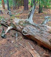 fuori nel bosco una scena di tronchi nella foresta sul lato nord del ruscello del lago vicino al lago Suttle o foto