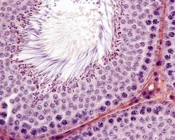 spermatogenesi dei tubuli seminiferi foto