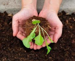 mani di donna che tiene una piantina della pianta per la coltivazione sul letto di ortaggi nella fattoria foto
