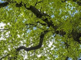 foglie fresche di primavera verde su un albero di quercia foto