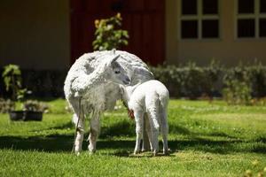 lama che allatta il suo cucciolo bianco con latte foto