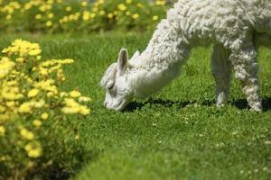 baby lama nutrendosi di erba circondata da fiori gialli foto