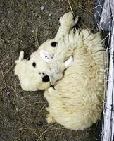 animale di capra addormentato foto