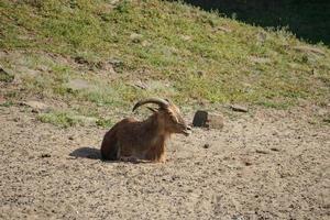 ritratto di una capra di montagna su una collina foto