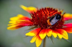 ape sulla testa di fiori gialli e arancioni foto