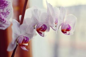 fioritura di orchidee viola e bianche fiore phalaenopsis foto