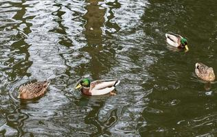 quattro anatre che nuotano foto