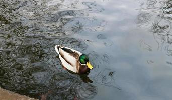 una sola anatra che nuota foto