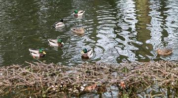 gruppo di anatre che nuotano foto
