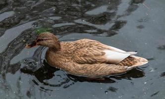 un'anatra marrone che nuota foto