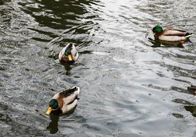 tre anatre che nuotano foto