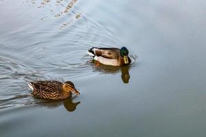 due anatre che nuotano foto