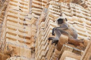 Pianure settentrionali langur grigio nel tempio Kumhshyam, Chittorgarh, Rajasthan, India foto