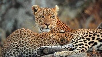 madre leopardo africano seduto su una roccia con il suo cucciolo foto