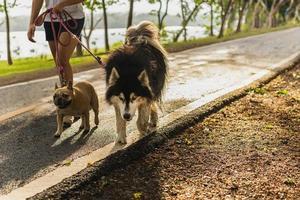 donna che cammina nel parco con siberian husky e pug dog foto