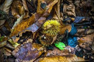 autunno e castagne foto