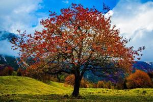 albero con foglie rosse uno foto
