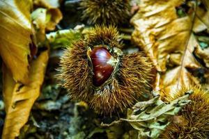 castagna con riccio e foglie gialle foto