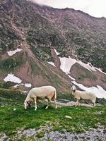 pecore in alta montagna foto