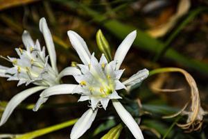 pancratium maritimum pioggia fiore foto