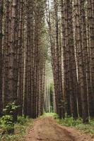 sentiero di alberi ad alto fusto nei boschi foto