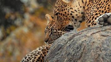 madre leopardo africano seduto e leccare il suo cucciolo su una roccia foto