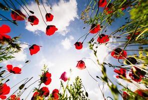 vista dal basso angolo basso di bellissimi fiori di papavero con sfondo cielo soleggiato foto