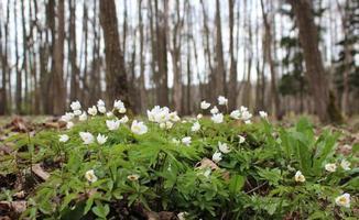 gli anemoni delle primule sono bianchi sullo sfondo foto