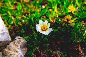 Dryas octopetala fiore foto