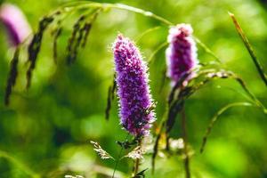 fiori di persicaria affinis foto