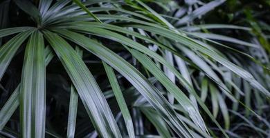 rhapis excelsa o palma della signora nel fondo tropicale delle foglie del giardino foto