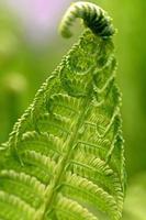 foglia di felce verde da vicino foto