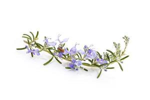 ramo di rosmarino fresco con fiori che sbocciano isolati su sfondo bianco foto