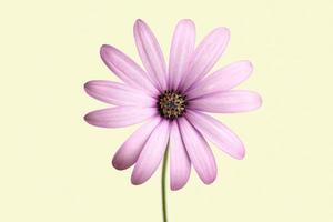 viola del capo marguerite fiore isolato su sfondo beige foto