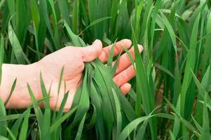 mano che tiene l'erba verde con gocce d'acqua foto