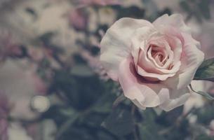 fiori di rosa in vaso con copia spazio stile vintage foto