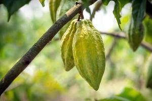 albero di cacao con baccelli di cacao in una fattoria biologica foto