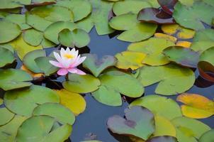 primo piano di una ninfea rosa semiaperta in uno stagno circondato da foglie di acqua verde foto
