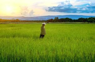 contadina fissando piantine di riso verde in una risaia con un bel cielo e nuvole foto