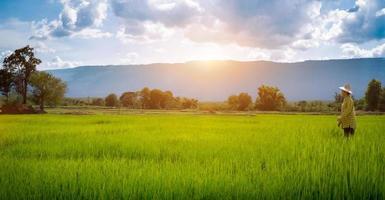contadina che fissa le piantine di riso verde foto