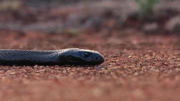 testa di un serpente mumba nero sdraiato sul pavimento del deserto foto