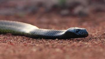 un serpente mumba nero africano sdraiato sul pavimento del deserto foto