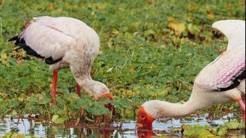 due uccelli cicogna migratori con becchi arancioni e testa alla ricerca di cibo in stagno foto