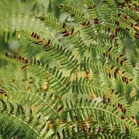 foglie di felce verde in primavera foto